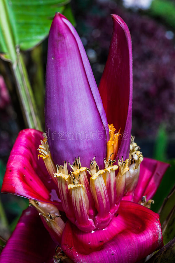 Banana flower. Inflorescence that gives rise to delicious fruit stock photo