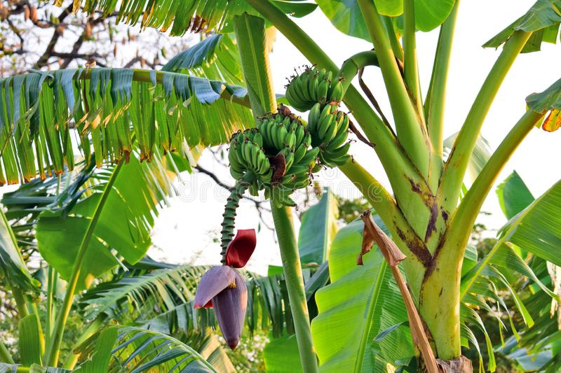 The teardrop-shaped purple flower at the end of the banana fruit cluster in a banana tree is called as banana heart. stock photo