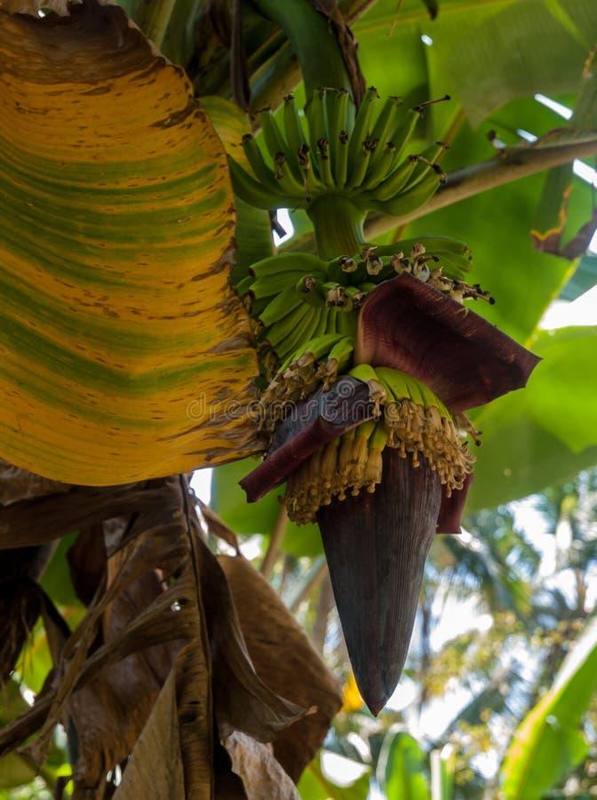 Banana flower wit small bananas royalty free stock image