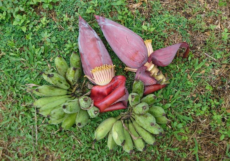 Banana flowers before fruiting and banana. Banana flowers before fruiting, Thai people can make curry or boiled food royalty free stock image