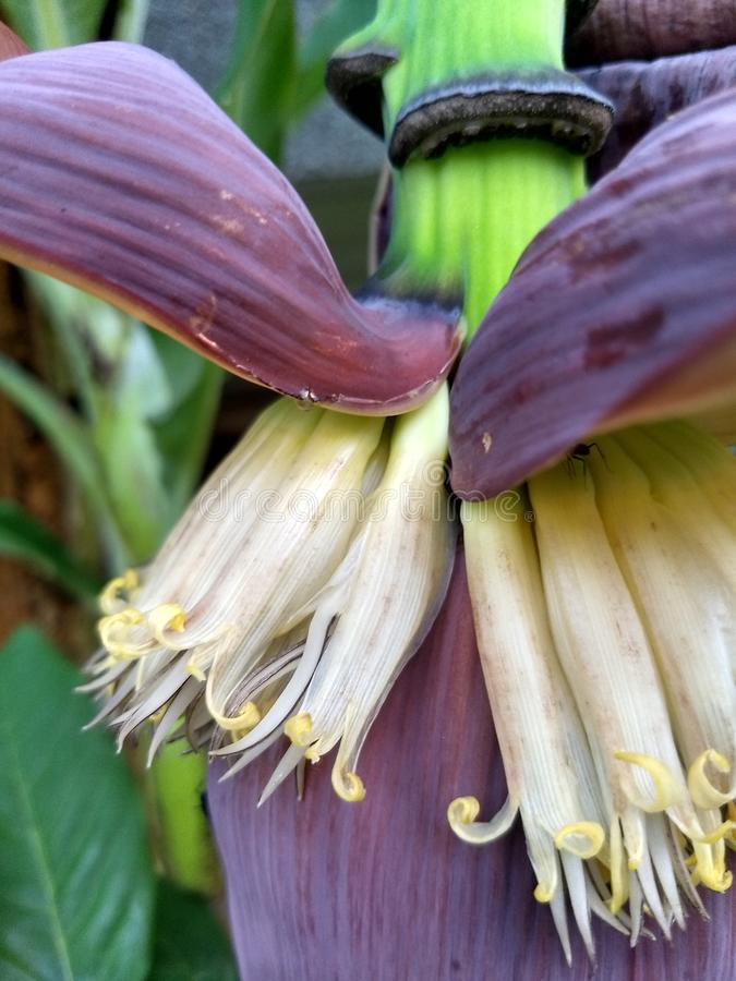 Banana flowers with purple petals in garden with blue green background royalty free stock image