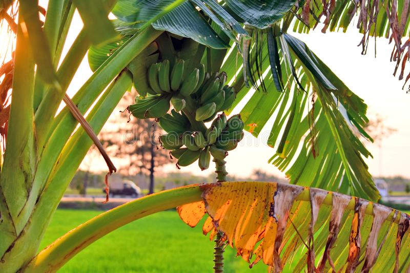 Banana fruit - Banana trees that have been fruiting with a blurry background royalty free stock image