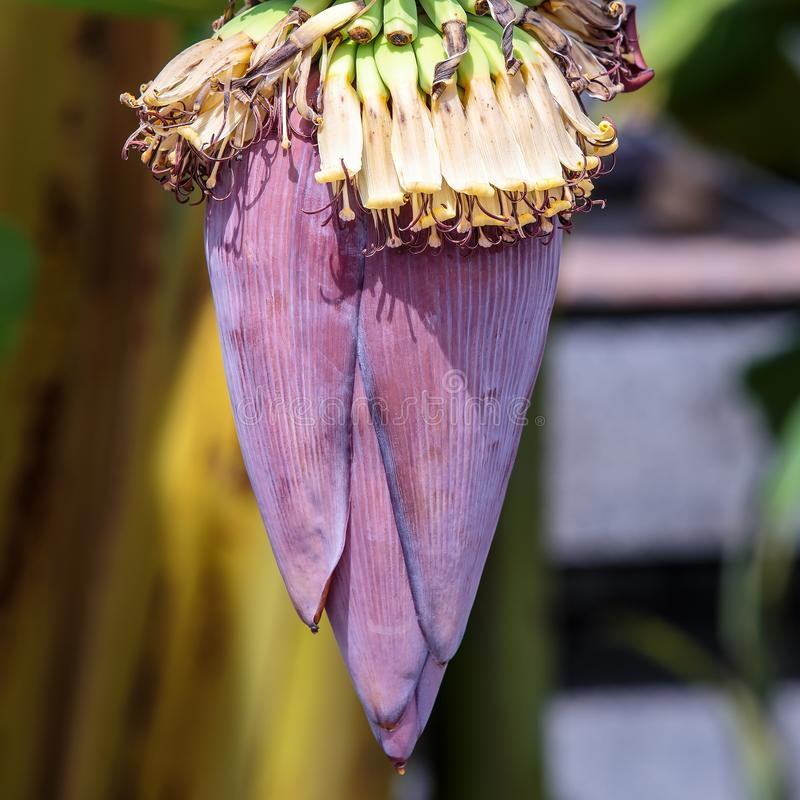Banana fruit flower. royalty free stock images