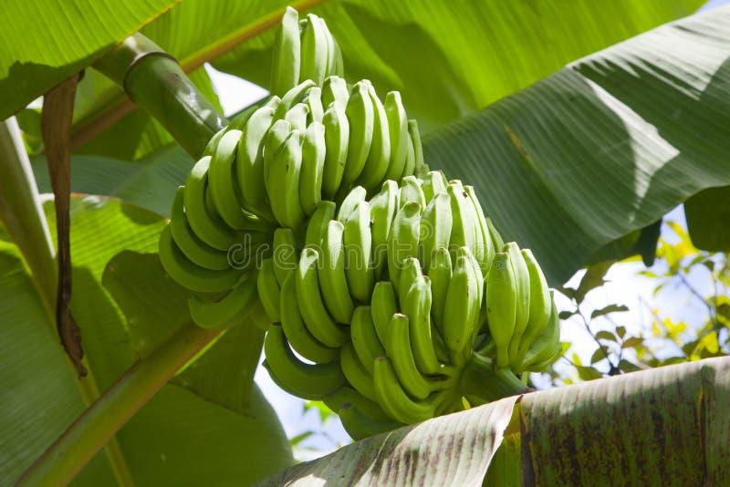 Download Banana fruits stock photo. Image of edible, blossom, bananenstaude - 39503172
