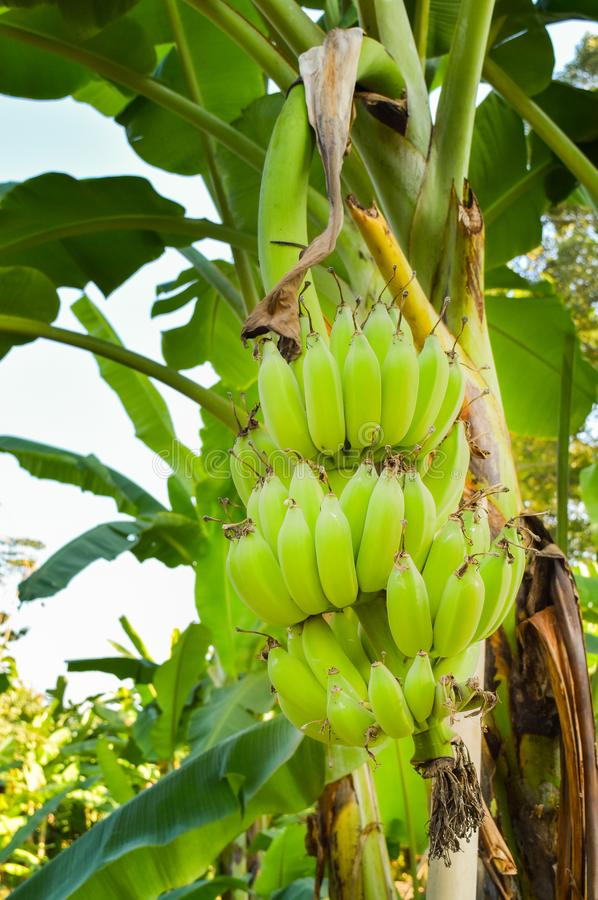 Banana garden. Banana tree and raw bananas ,local agriculture by sufficiency economy philosophy in the countryside of Thailand stock images