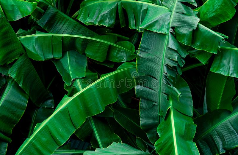 Banana green leaves texture background. Banana leaf in tropical forest. Green leaves with beautiful pattern in tropical jungle. stock images