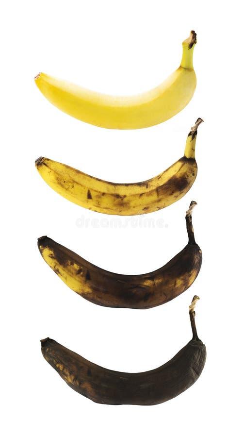 A banana impecável em um processo de decompõe fotos de stock