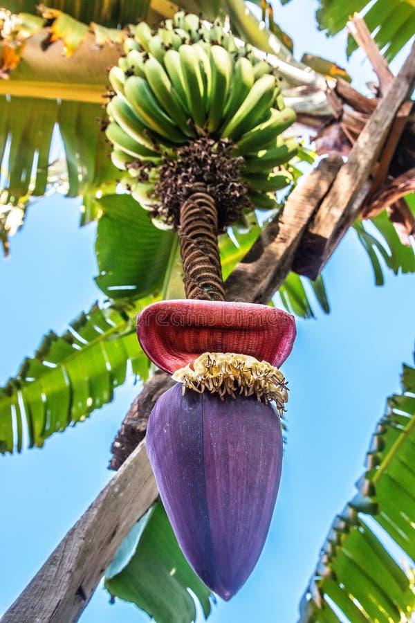 Banana inflorescence hanging on a tree royalty free stock photos
