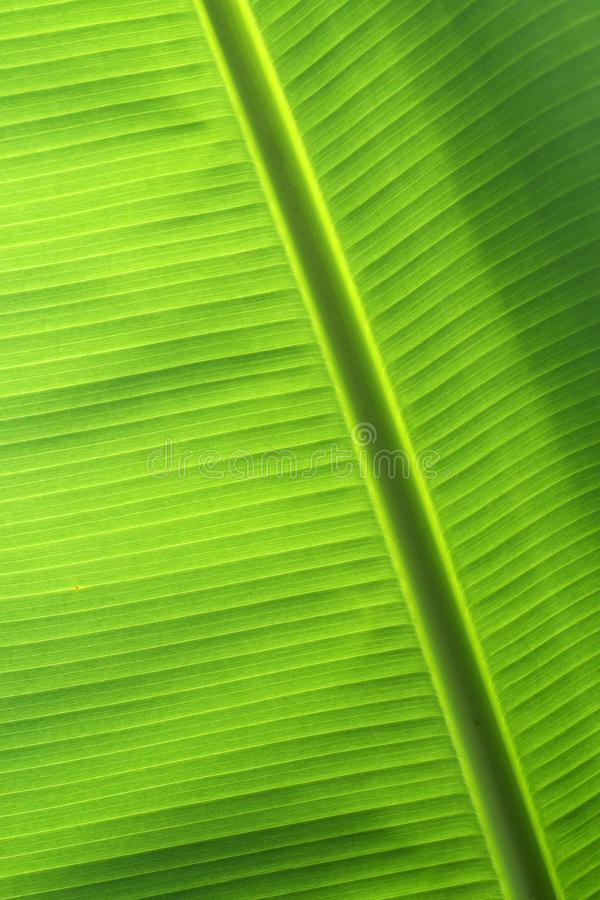 Download Banana leaf stock photo. Image of texture, colour, colorful - 16891386