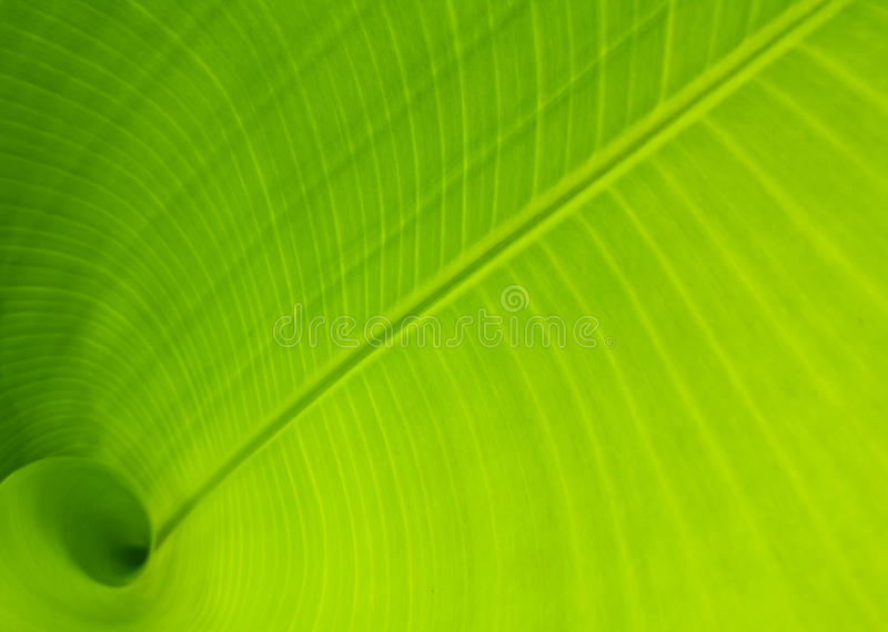 banana leaf arkivbild