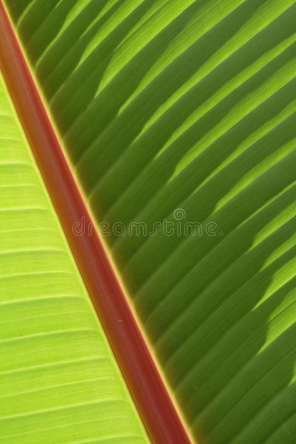 Free Banana Leaf Royalty Free Stock Photos - 23870378