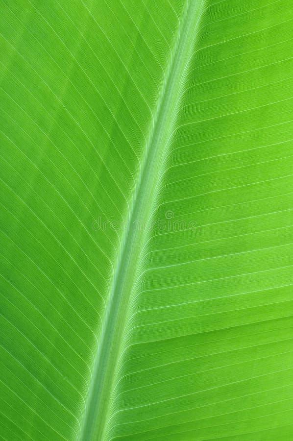 Download Banana leaf stock photo. Image of vascular, veins, nature - 25792948