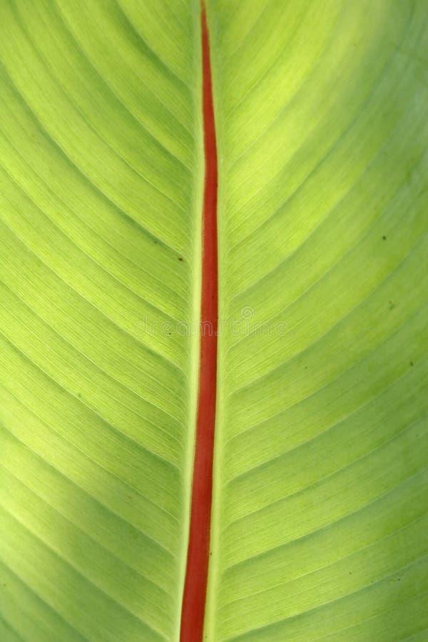 Banana leaf stock image