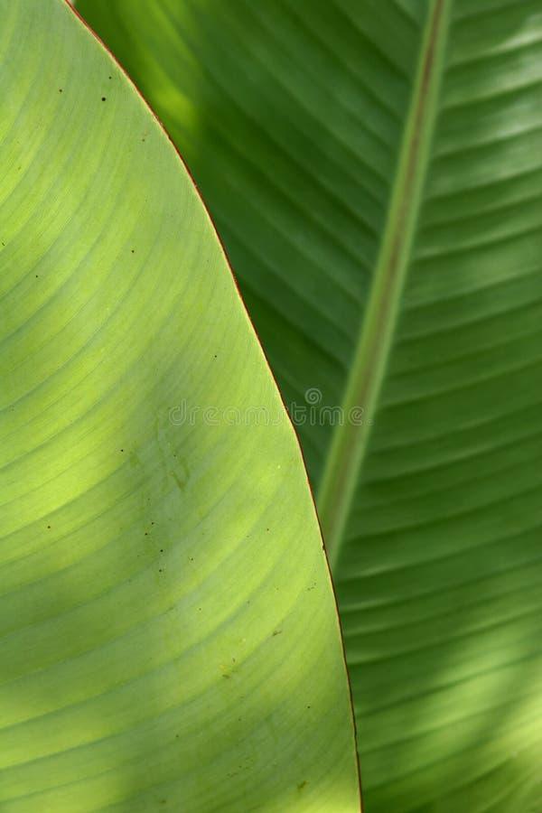 Banana leaf royalty free stock images