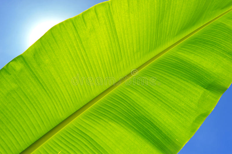 Download Banana leaf stock photo. Image of beauty, light, agriculture - 38829124