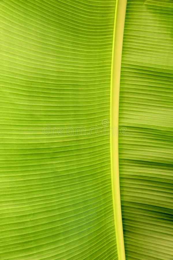 Banana leaf. The close-up of banana leaf with parallel veins royalty free stock photography