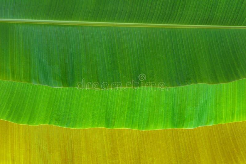 Download Banana leaf stock image. Image of pigments, ecology, detail - 38829291