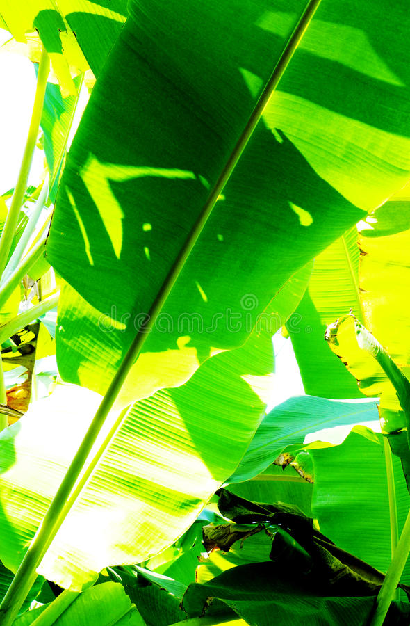 Banana leaf foliage in sunlight royalty free stock image
