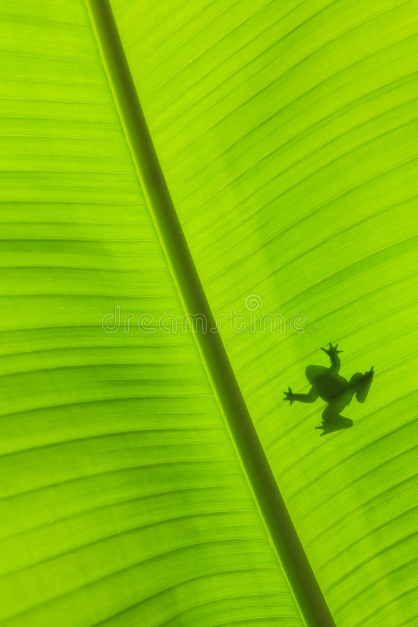 Banana leaf green background. And frog royalty free stock image