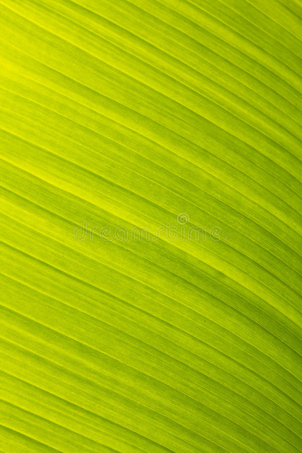 Banana leaf green floral natural background. A banana leaf green floral natural background royalty free stock photo