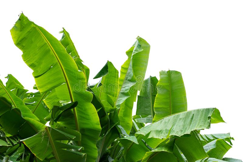 Banana leaf, green banana on white background stock images