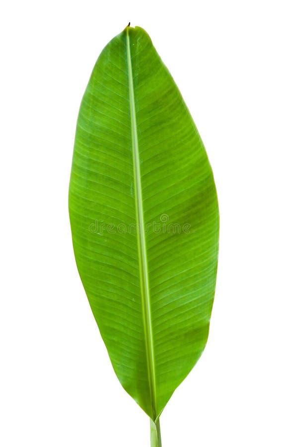 Banana leaf isolated royalty free stock photography