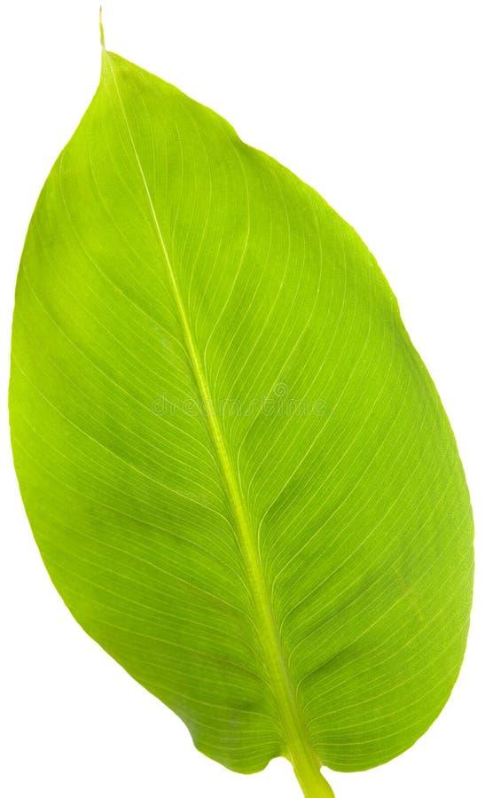 Free Banana Leaf Isolated On White Royalty Free Stock Images - 4665769