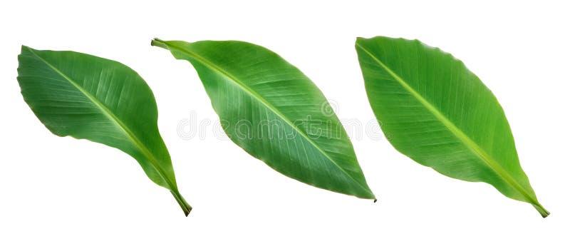 Banana leaf isolated on white background stock photos