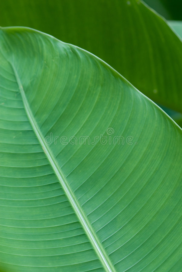 Banana leaf in layers stock images