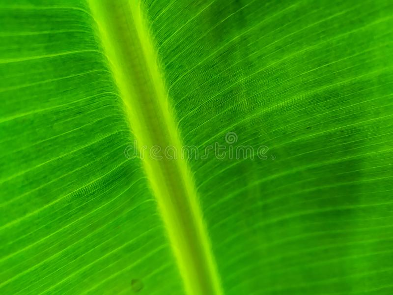 Banana Leaf Mobile photography, hoping to get amazing images with a simple device stock image