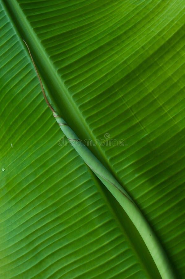 Free Banana Leaf Texture Stock Photos - 15025763