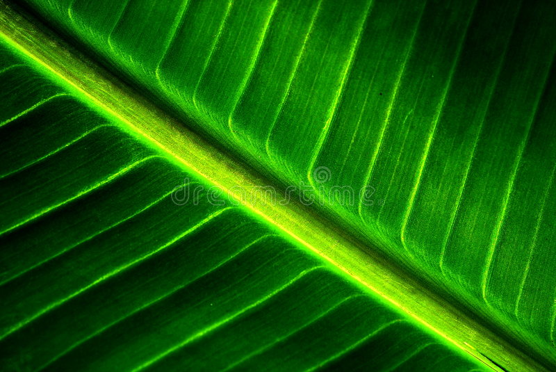 Banana leaf texture. A close up of banana leaf texture stock images