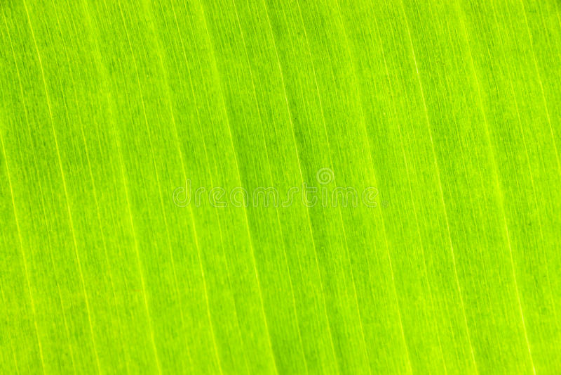 Banana leaf. Texture background of banana Leaf royalty free stock photos