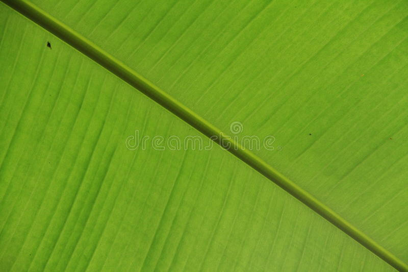 Banana leaf texture. royalty free stock image