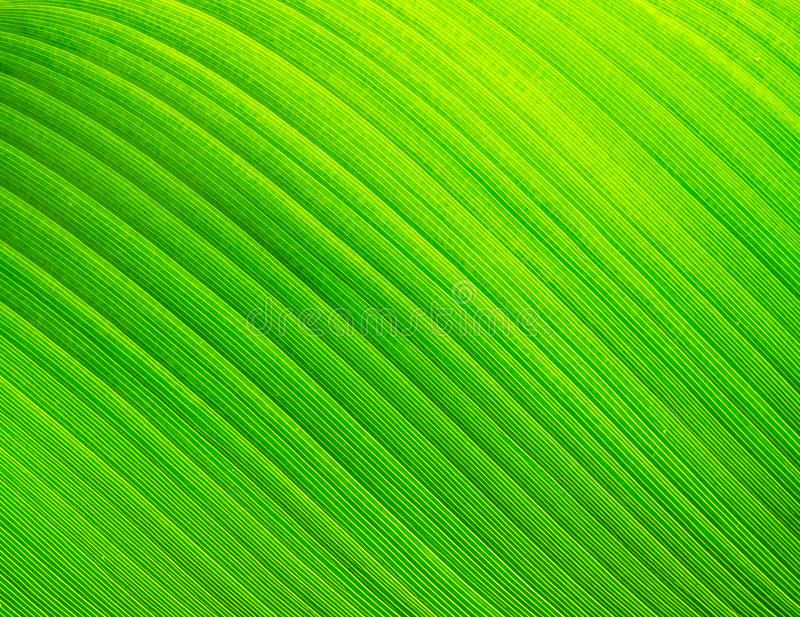 Banana leaf texture. Green banana leaf texture able to use as natural feeling background stock photos