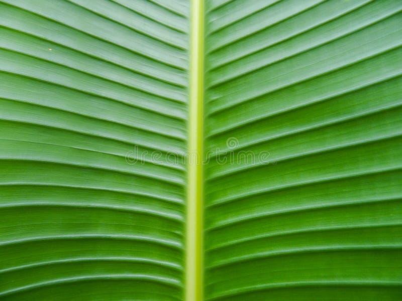 Banana leaf texture stock photography