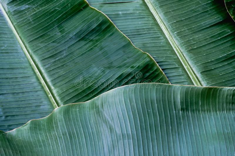 Banana leaf texture, green tropical pattern background concept royalty free stock photo