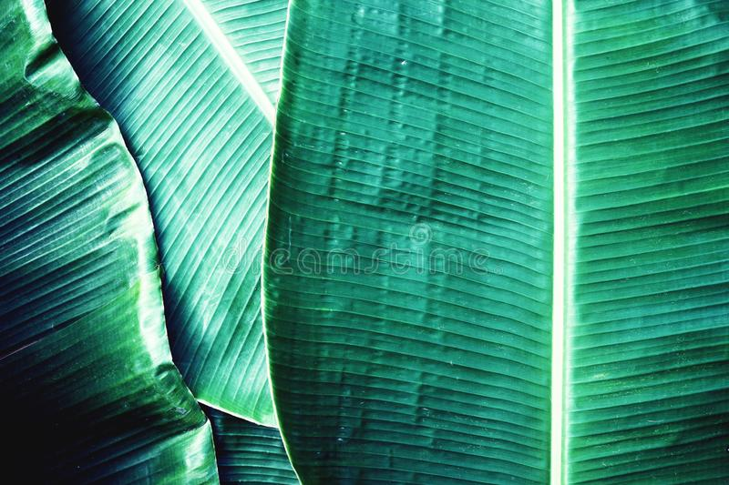 Banana leaf texture, green tropical pattern background concept royalty free stock images