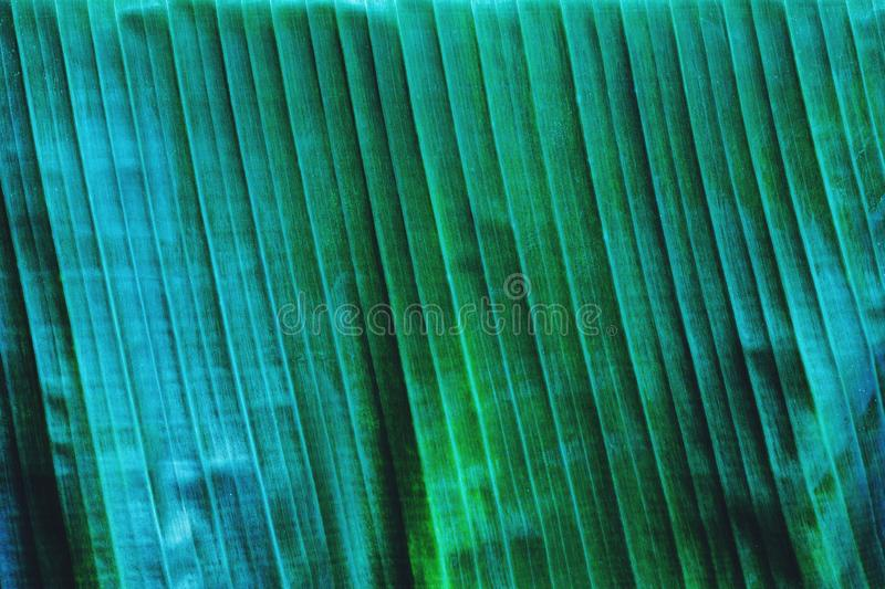 Banana leaf texture, green tropical pattern background concept royalty free stock photography