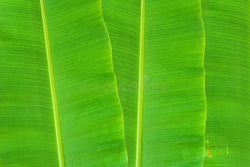 Download Banana Leaf Stock Photo - Image: 38829368