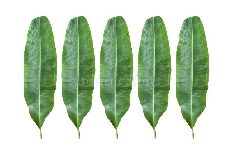 Banana leaf. stock photos