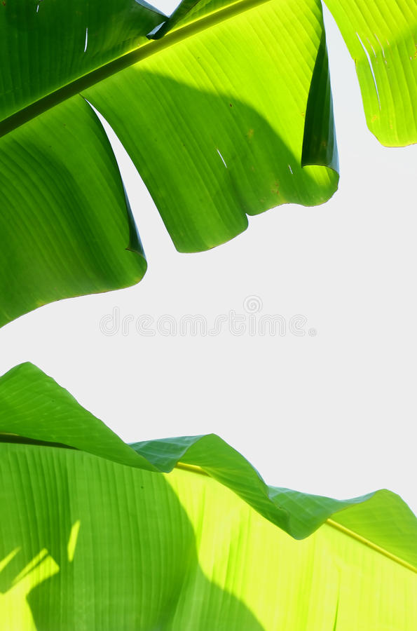Banana leaf. On white background royalty free stock photos