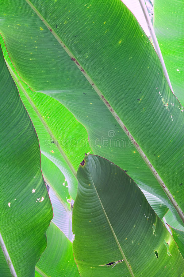 Banana leafs green tropical background royalty free stock images