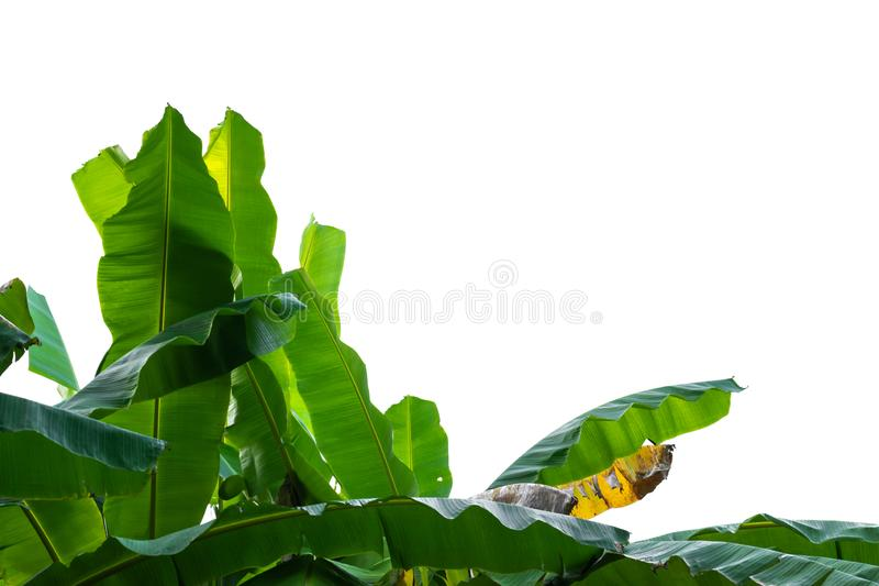 Banana leafs on white isolated background. Banana leafs on white isolated background royalty free stock photography