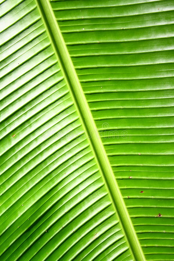 Banana Leave royalty free stock photography