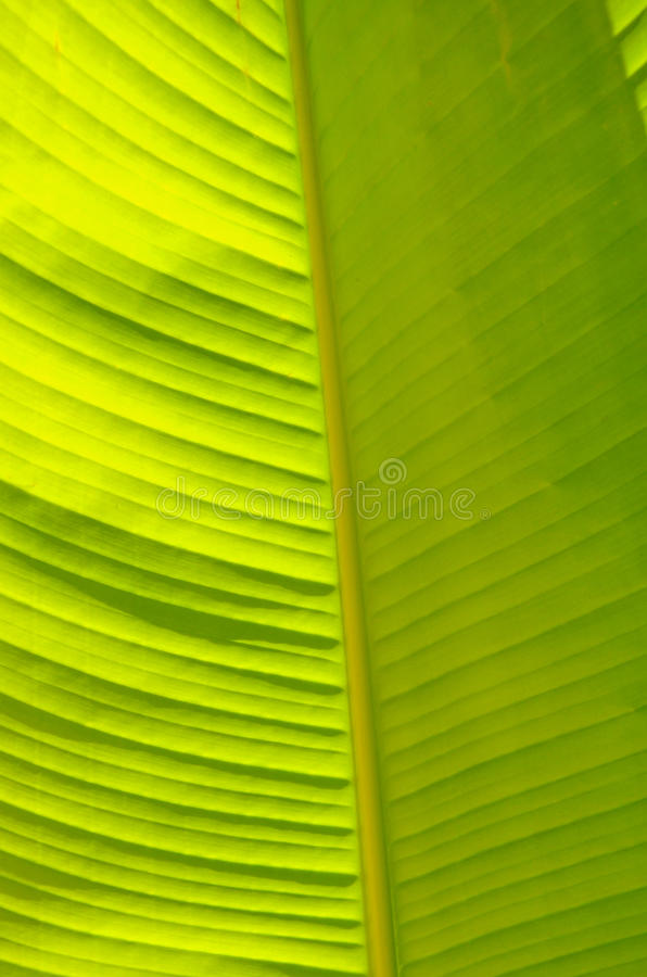 Banana leave royalty free stock photos