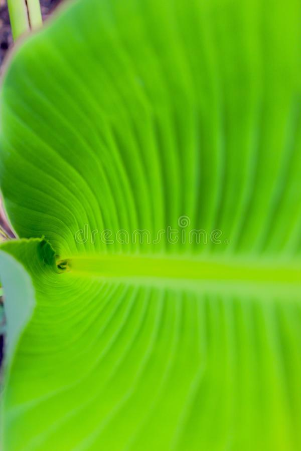 Banana leave royalty free stock image