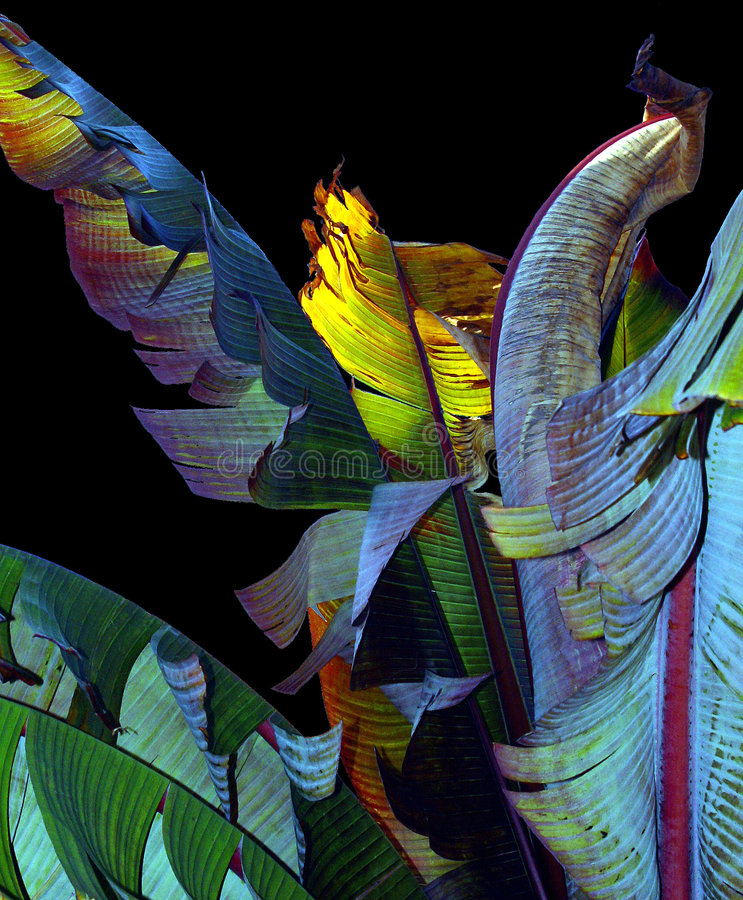 Banana leaves. Colorful banana leaves royalty free stock photography