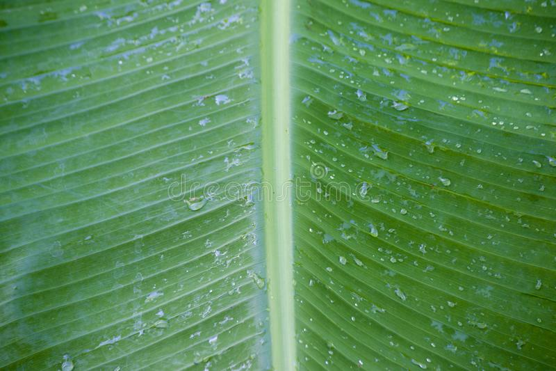 Banana leaves and drop water. royalty free stock photography