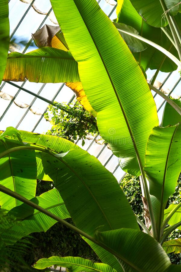Banana leaves, illuminated by sunlight, inside a greenhouse in the Royal Botanic Garden of Madrid, Spain. Europe. In vertical stock photography
